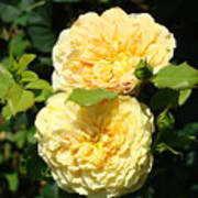 Rose Garden Floral Art Print Yellow Roses Canvas Baslee Troutman Poster