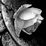 Rose In A Birdbath Poster