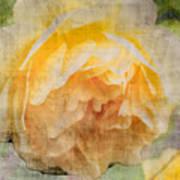 Rose In Bloom  Poster