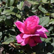 Rose In Flower Bed Poster