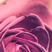 Rose Morning Light Poster