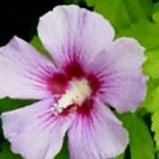 Rose Of Sharon Close Up Poster