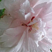 Rose Of Sharon In The Rain Poster