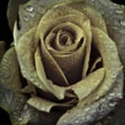 Rose Petals Poster