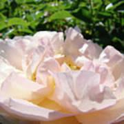 Rose Pink Sunlit Rose Flower Art Prints Baslee Troutman Poster