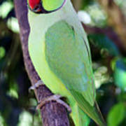 Rose-ringed Parakeet Poster