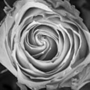 Rose Spiral Black And White Poster by James BO  Insogna