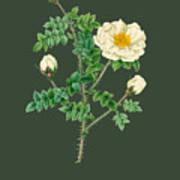 Rose142 Poster