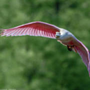 Roseate Spoonbill In Flight 2 Poster