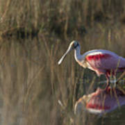 Roseate Spoonbill In Morning Light Poster