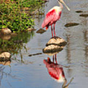 Roseate Spoonbill Reflections Poster