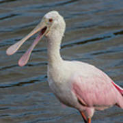 Roseate Spoonbill With Something To Say Poster