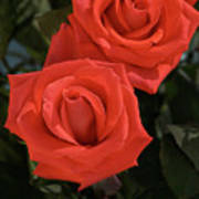 Roses-5840 Poster