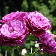 Roses Art Rose Garden Pink Purple Floral Prints Baslee Troutman Poster