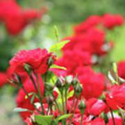 Roses Garden Spring Scene Poster