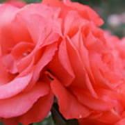 Roses In Dark Pink I Poster