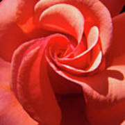Roses Orange Rose Flower Spiral Artwork 4 Rose Garden Baslee Troutman Poster