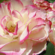 Roses Pink White Rose Flowers 4 Rose Garden Artwork Baslee Troutman Poster