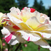 Roses White Pink Yellow Rose Flowers 3 Rose Garden Art Baslee Troutman Poster