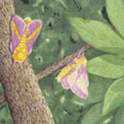 Rosy Maple Moth Gathering Poster