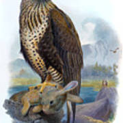 Rough Legged Buzzard Hawk Antique Bird Print The Birds Of Great Britain Poster