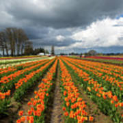 Rows Of Colorful Tulips At Festival Poster