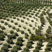 Rows Of Olive Trees Growing In The Village Of Baena Poster