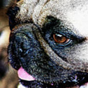 Roxy The Pug Poster