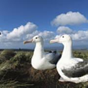 Royal Albatrosses Nesting Poster