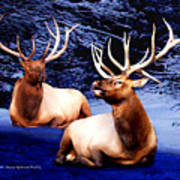 Royal Elk Poster