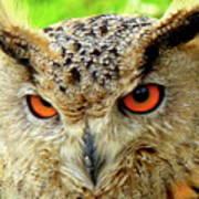 Royal Owl Poster
