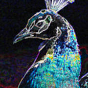 Royal Peacock Poster