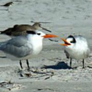 Royal Terns Poster