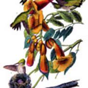 Ruby Throated Humming Bird Audubon Birds Of America 1st Edition 1840 Octavo Plate 253 Poster