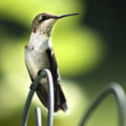 Ruby-throated Hummingbird Poster by Christina Rollo