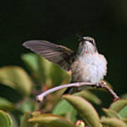 Ruby-throated Hummingbird - Juvenile Poster