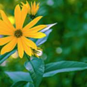 Rudbeckia Flowers In Bloom Poster