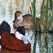 Ruddy Ducks Poster
