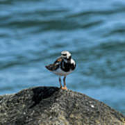 Ruddy Turnstone 2 Poster