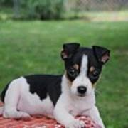 Rudy The Rat Terrier Poster by Rebecca Poole