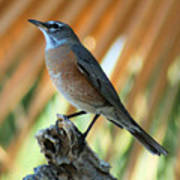 Rufous-backed Robin Poster