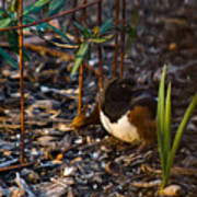 Rufous Sided Towhee At A Glance Poster