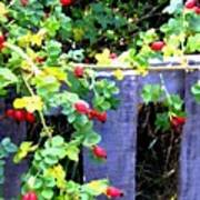 Rustic Fence And Wild Rosehips Poster