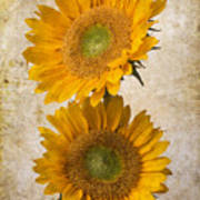 Rustic Sunflowers Poster