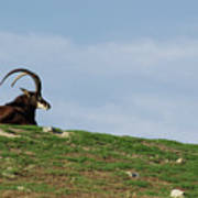 Sable Antelope On Hill Poster