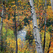 Saco River And Birches Poster