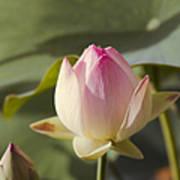 Sacred Lotus - Nelumbo Poster