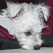 Sad Puppy Poster