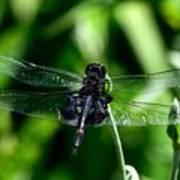 Saddlebag Dragonfly Poster