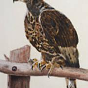 Safari Hawk Poster